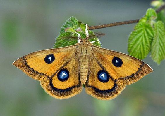 emperor moth 2